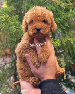 Safkan red Brown toy poodle yavruları @catboyssss da